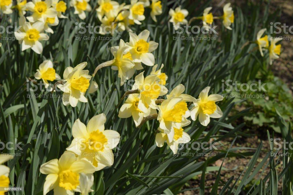 photo libre de droit de plantes bulbe fleurs printemps dans le parterre de fleurs jonquille de. Black Bedroom Furniture Sets. Home Design Ideas