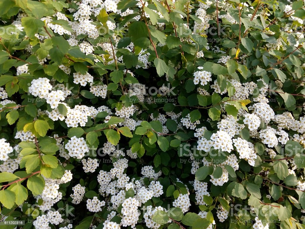 Spring flowering bush studded with small white flowers stock photo spring flowering bush studded with small white flowers royalty free stock photo mightylinksfo