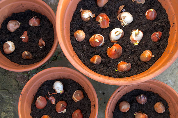Spring flowering  garden bulbs planted in pots Spring flowering just planted sprouting tulip bulbs planted in terracotta flower  pots plant bulb stock pictures, royalty-free photos & images