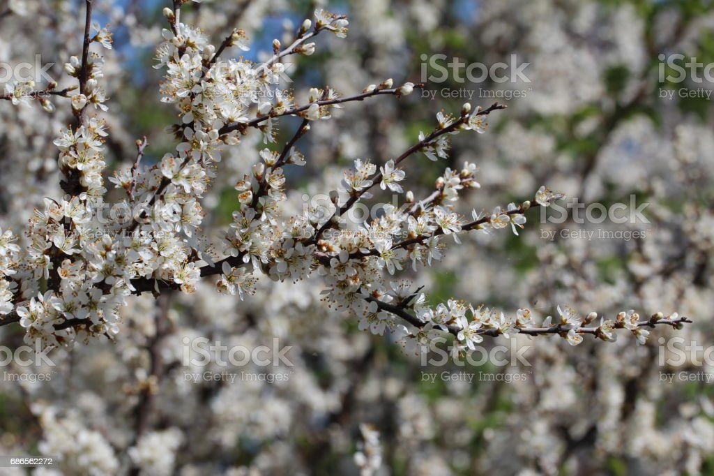 Spring flowering royalty-free stock photo