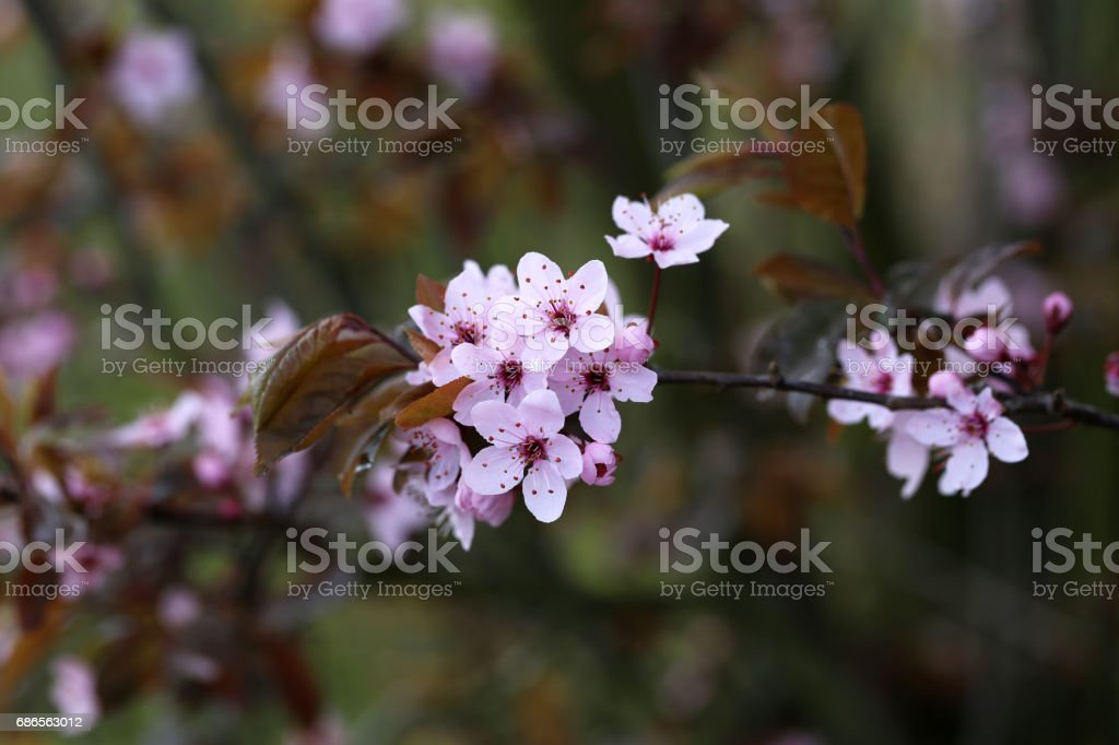 Spring flowering royalty-free stock photo