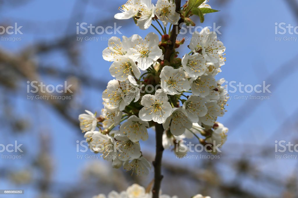 Spring flowering photo libre de droits