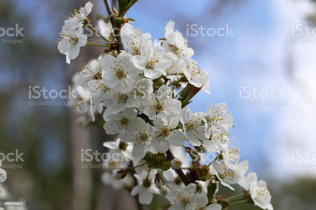 Spring flowering foto stock royalty-free