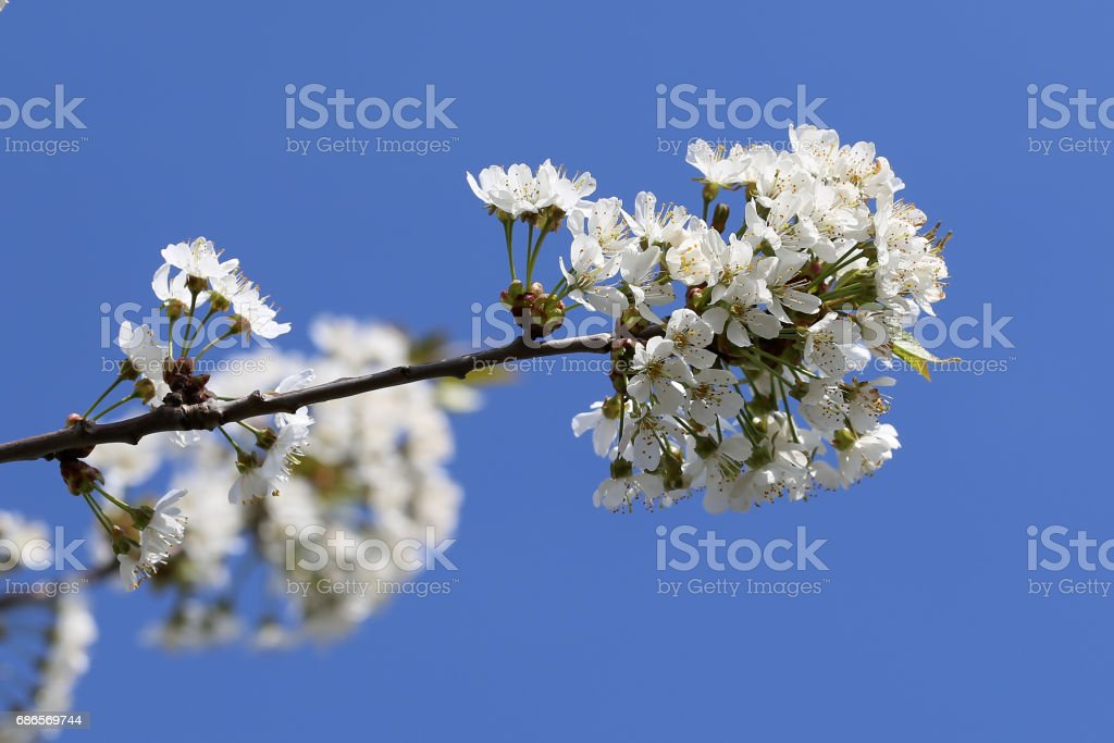 Spring flowering foto stock royalty-free