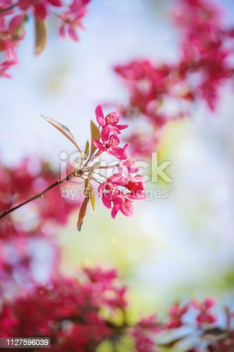 istock Spring flowering trees. Blooming garden. Selective focus nature 1127596039