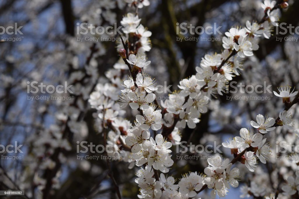 Spring flowering trees pollination of flowers of apricot blooming spring flowering trees pollination of flowers of apricot blooming wild apricot in the garden mightylinksfo