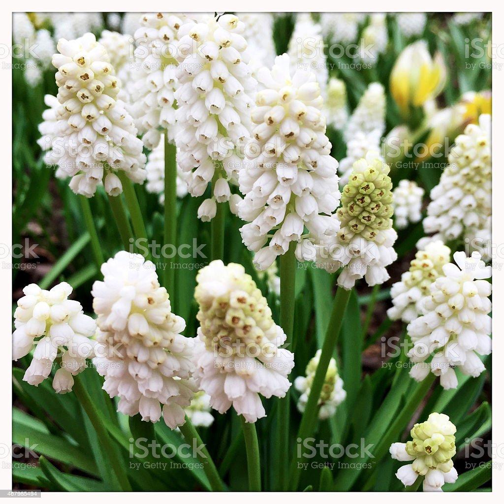 Spring Flowering White Grape Hyacinth in Garden stock photo