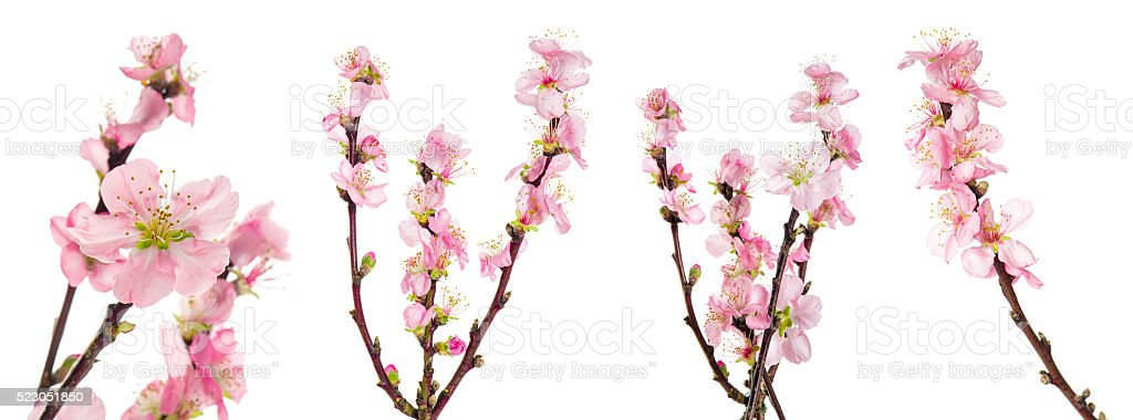 Spring flowers. Almond tree blossoms green leaves stock photo