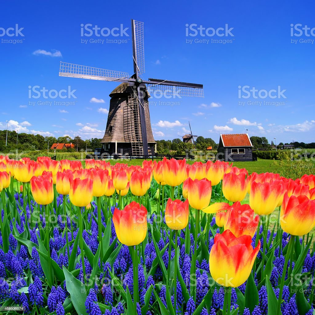 Spring flowers and Dutch windmills stock photo