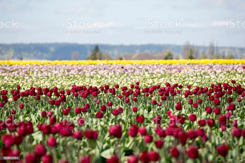 Spring Flowers and Tulip Farm, Skagit Valley Festival in Washington State stock photo