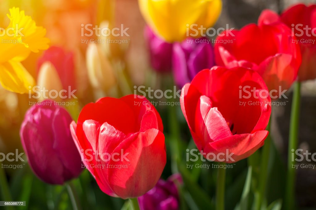 Spring flowers and tulips born into existance in April and May with warm sunlight nurturing and bringing life.  Copyspace. foto de stock royalty-free