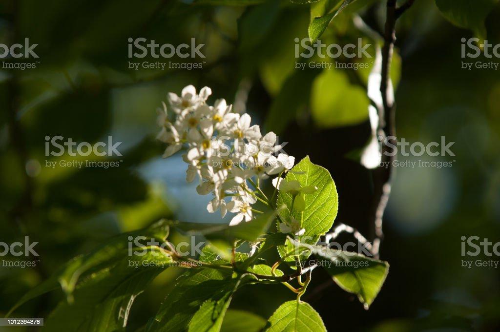 Spring flowers bird spring flowers bird cherry a tree with white spring flowers bird spring flowers bird cherry a tree with white fragrant flowers mightylinksfo