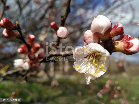 White flowers bloom on a branch of cherry tree