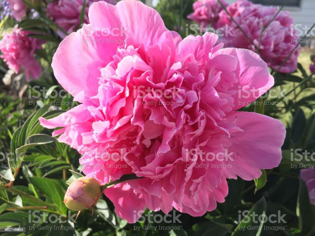 Spring flowers bloom - Foto stock royalty-free di Aiuola