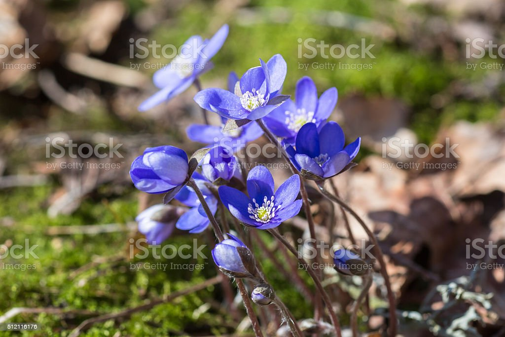 Spring flowers blue anemones that bloom in spring stock photo more spring flowers blue anemones that bloom in spring royalty free stock photo mightylinksfo