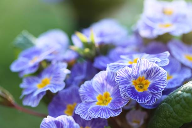 Spring flowers. Blue primrose on a green plant background. Spring flowers. Blue primrose on a green plant background. primula stock pictures, royalty-free photos & images