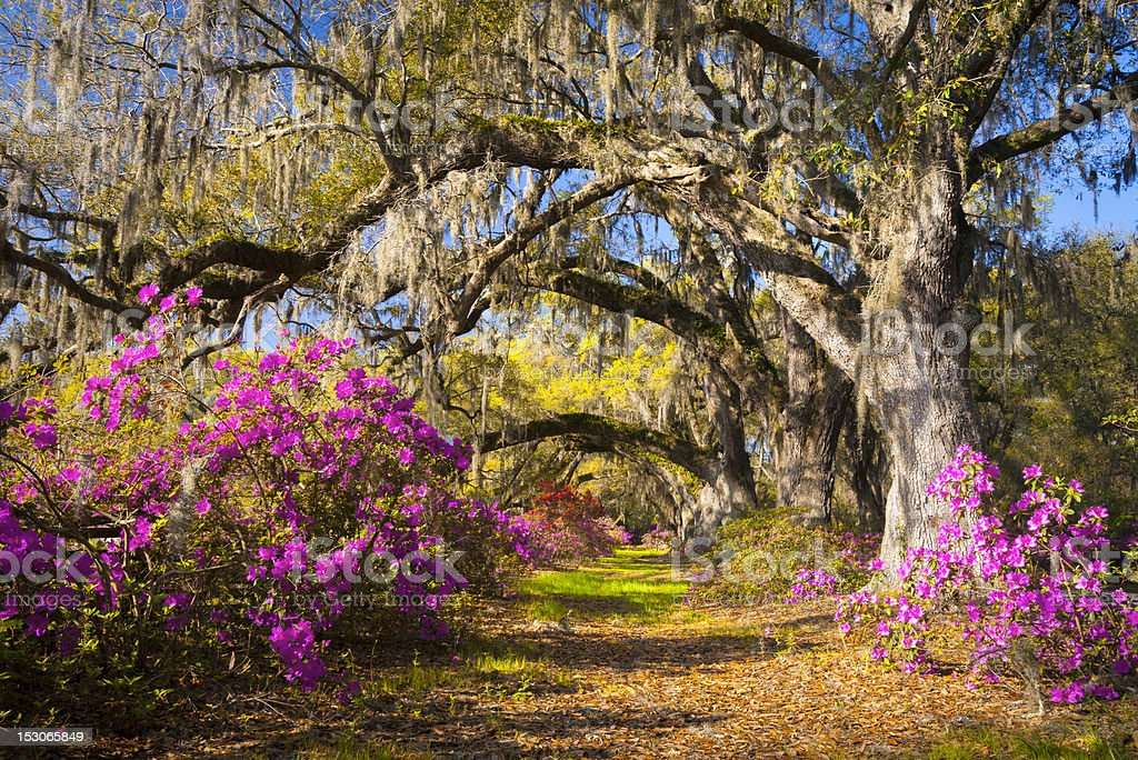 Spring Flowers Charleston SC Azalea Blooms Deep South Landscape Photography stock photo
