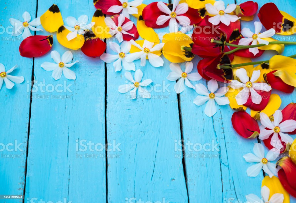 Spring Flowers. Daffodil and Tulip Petals. Bouquet of Red and Yellow Tulips and White Daffodils on blue wooden background. Greeting for Women, Mothers Day, Valentine's day. Copy space stock photo