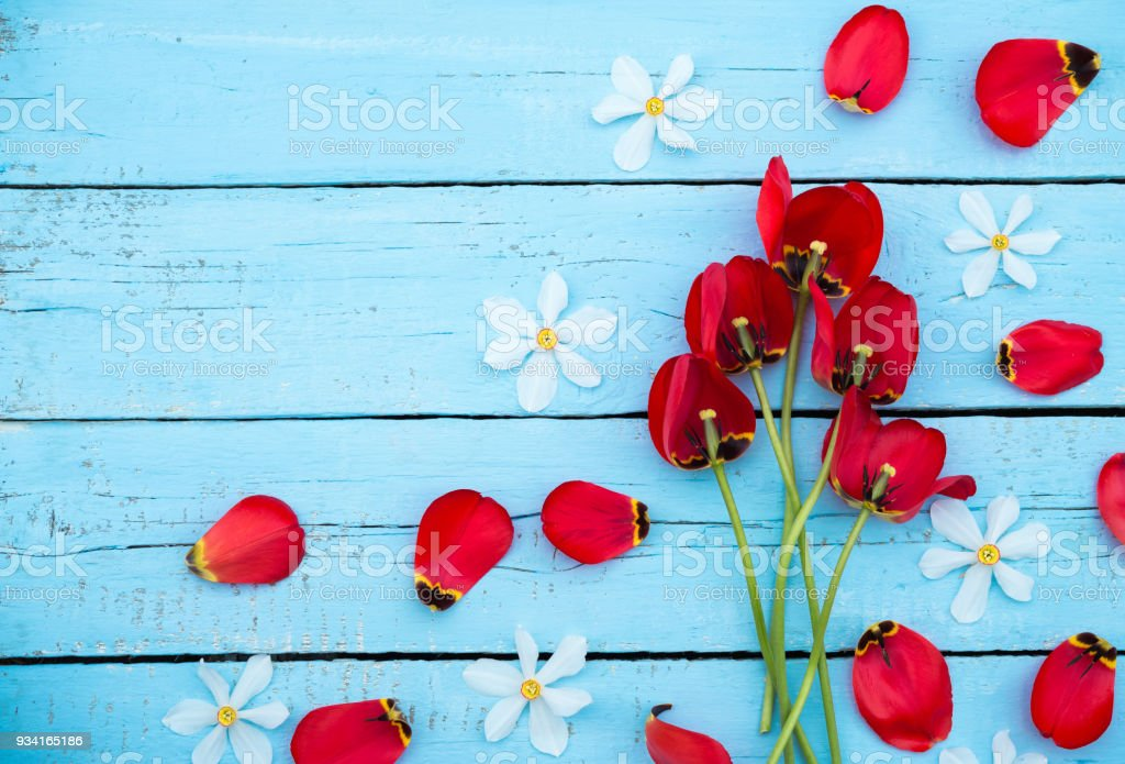 Spring Flowers. Daffodil and Tulip Petals. Bouquet of Red Tulips and White Daffodils on blue wooden background. Greeting for Women, Mothers Day, Valentine's day. Copy space stock photo