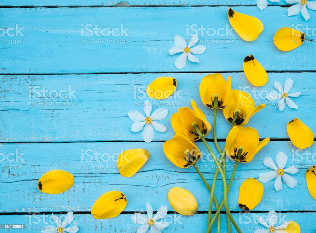 Spring Flowers. Daffodil and Tulip Petals. Bouquet of Yellow Tulips and White Daffodils on blue wooden background. Greeting for Women, Mothers Day, Valentine's day. Copy space stock photo