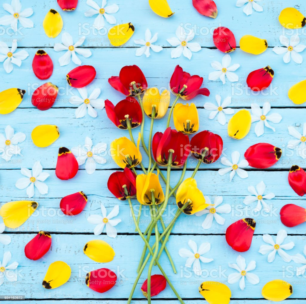 Spring Flowers. Daffodil and Tulip Petals. Red and Yellow Tulips and White Daffodils on blue wooden background. Greeting for Women, Mothers Day, Valentine's day stock photo