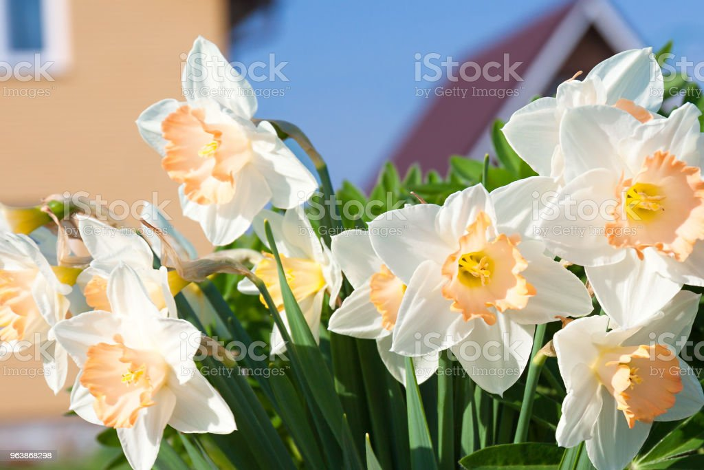 spring flowers daffodils blossomed in garden - Royalty-free April Stock Photo