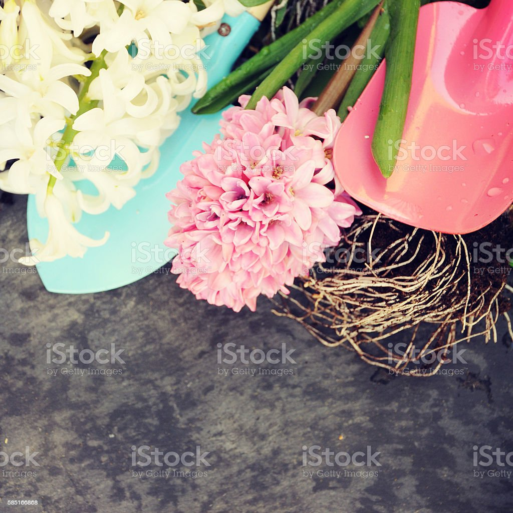 Spring Flowers Hyacinth Spring Concept Stock Photo More Pictures