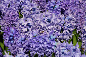 The picture was taken in the spring in the city park of Istanbul. In the photo, the spring flowers of Hyacinths - close-up. Against the background of flowers flies a bee collecting nectar.