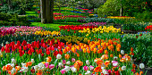 Colorful tulips in a park. Location is Keukenhof Gardens, Netherlands