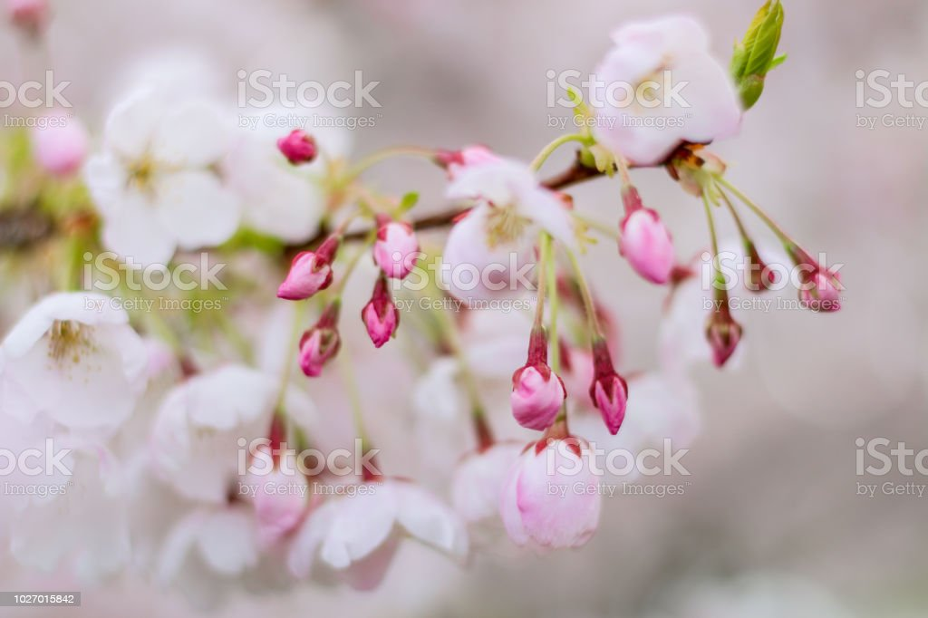 Spring flowers in bloom defocused stock photo more pictures of spring flowers in bloom defocused royalty free stock photo mightylinksfo