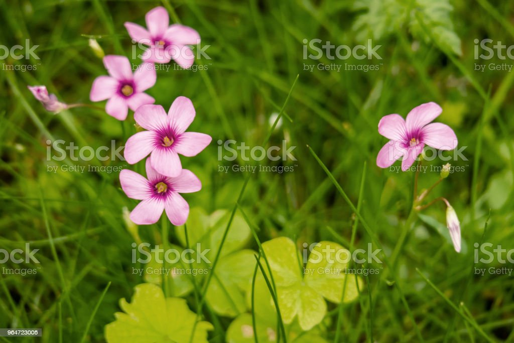 spring flowers in green nature royalty-free stock photo