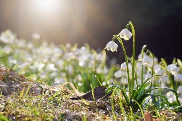 spring flowers in morning light - snowdrop stock pictures, royalty-free photos & images