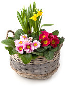 Spring flowers in planting bowl isolated against white background