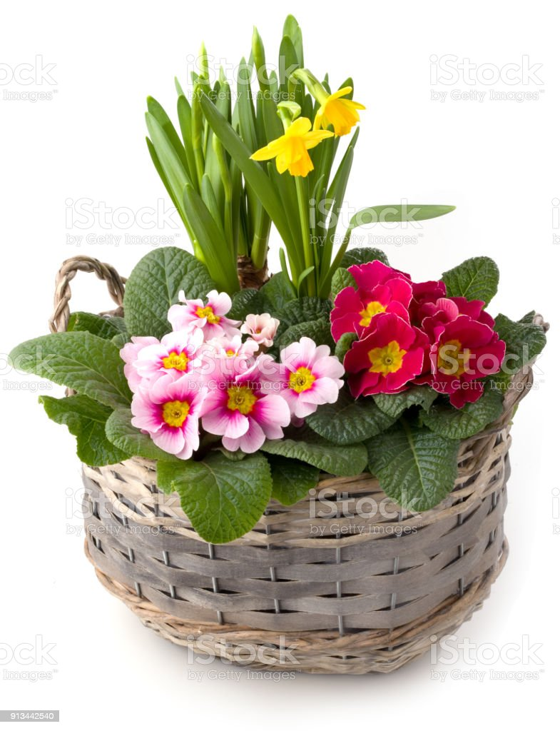 Spring flowers in planting bowl isolated against white background stock photo