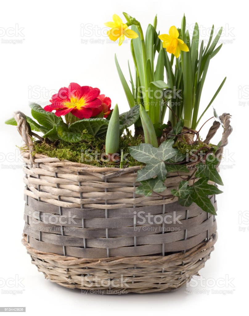 Spring flowers in planting pot isolated against white background stock photo