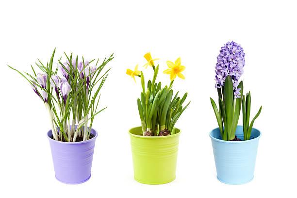 연두빛 꽃 pots - 히아신스 뉴스 사진 이미지