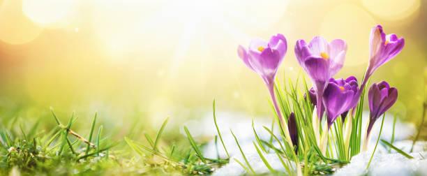 fleurs de printemps en plein soleil - crocus photos et images de collection