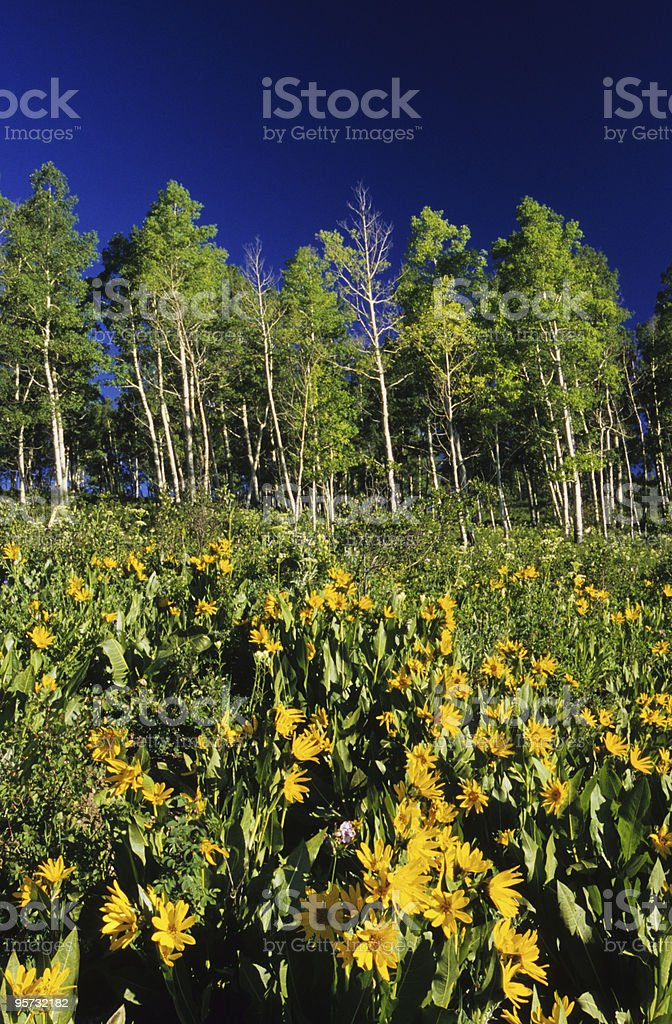 Spring flowers in the Rocky Mountains royalty-free stock photo