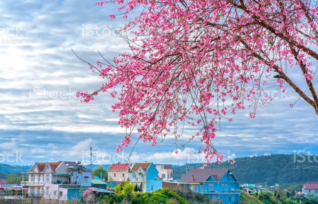Spring flowers in the small town with cherry blossoms stock photo