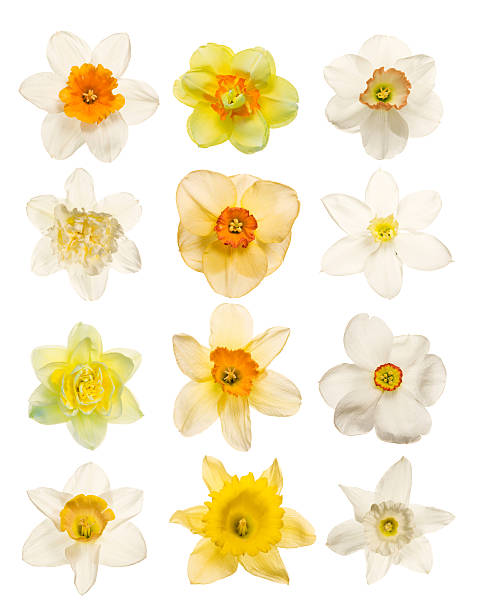 Spring flowers isolated on white picture id471129933?b=1&k=6&m=471129933&s=612x612&w=0&h=8u5ro3ex1t0t80llsf8hkbhvmi3bxv2uvvux1 2lxx4=