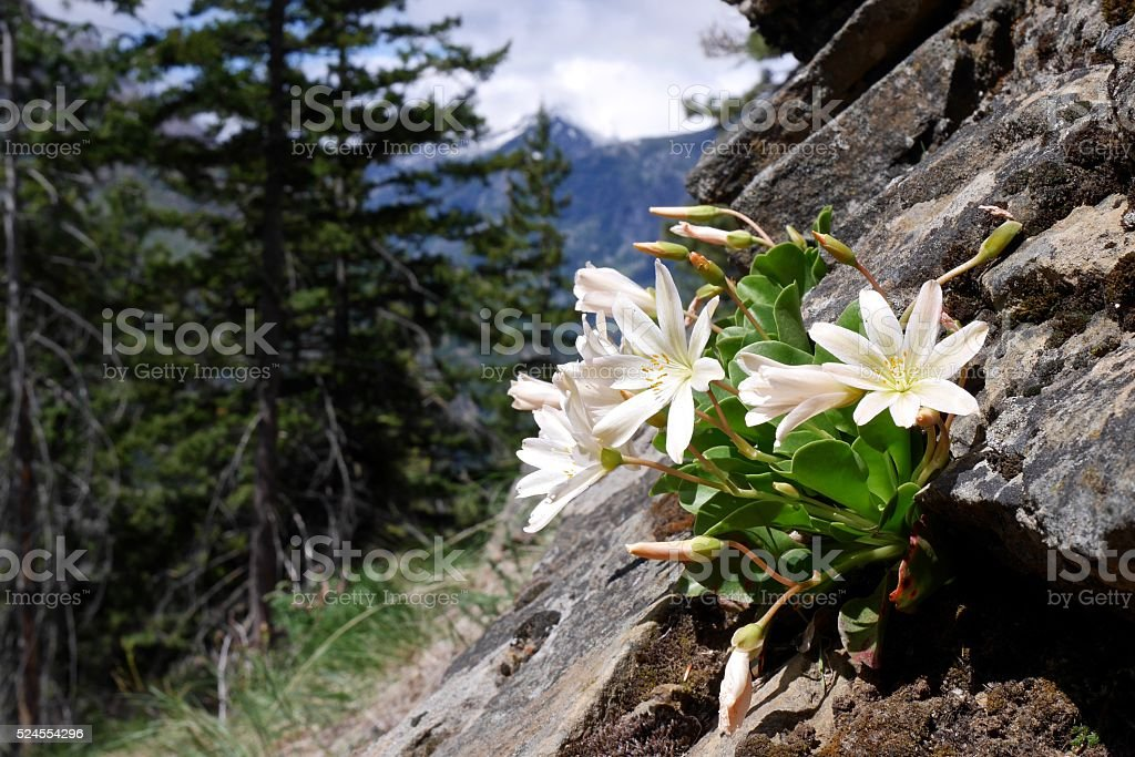 Spring Flowers, Mountains and Rocks. stock photo