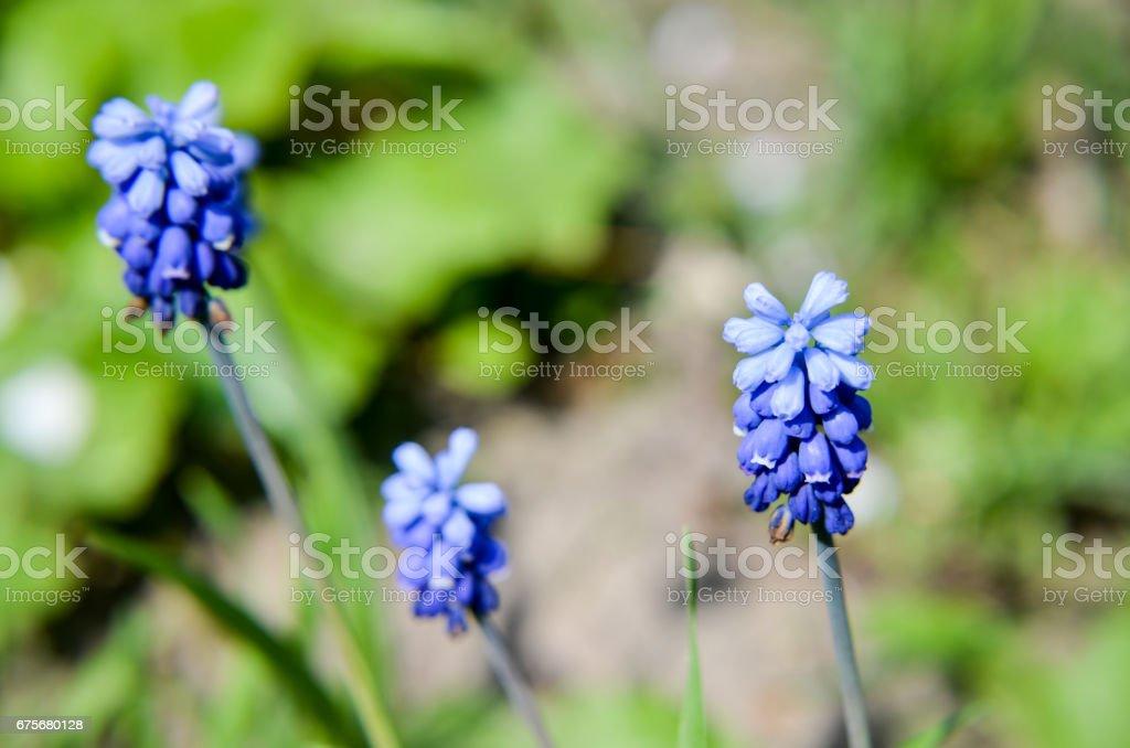 Spring flowers muscari at spring closeup stock photo