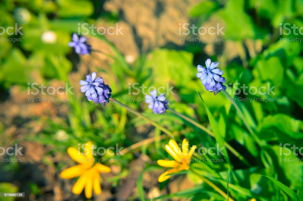 Spring flowers muscari at spring closeup royalty-free stock photo