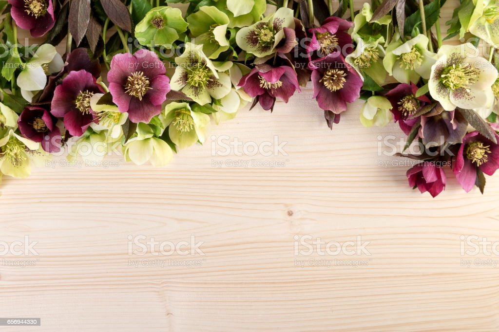 Spring flowers natural background. Lenten roses over light wooden table text space stock photo