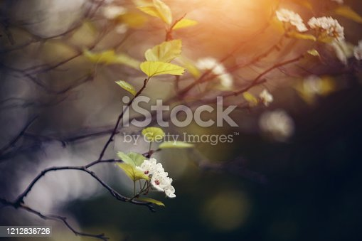 Spring flowers of a hawthorn on the semi-dried-up branch.