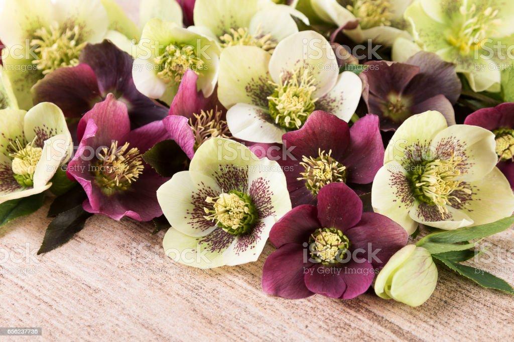Spring flowers of hellebore or lenten roses closeup stock photo