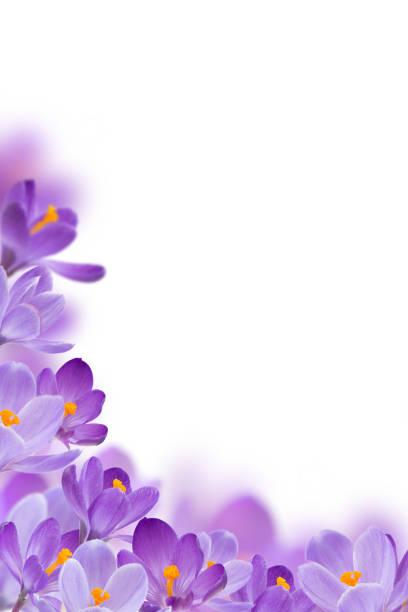 fleurs de printemps sur fond blanc - crocus photos et images de collection