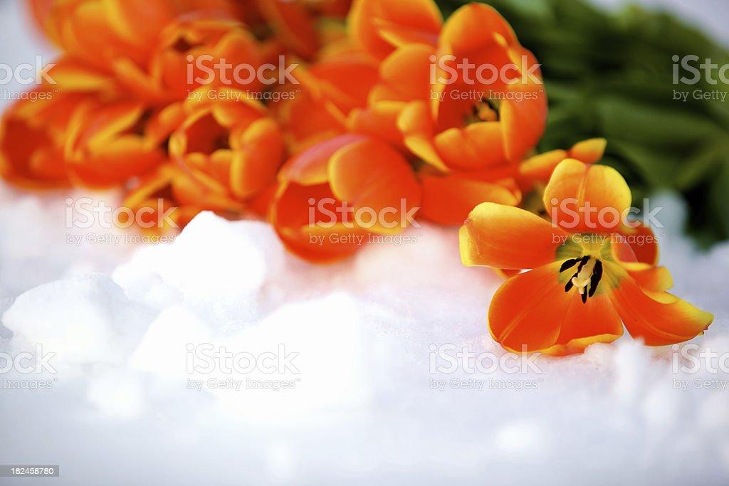 spring flowers orange tulips royalty-free stock photo