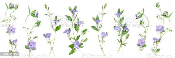 Весенние Цветы Перивинкл — стоковые фотографии и другие картинки Барвинок - цветок