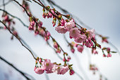 Blooming pink cherry branches on a background of gray sky